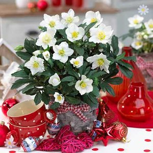 Christmas Rose plants (Helleborus niger) - set of 3 in 1L pots