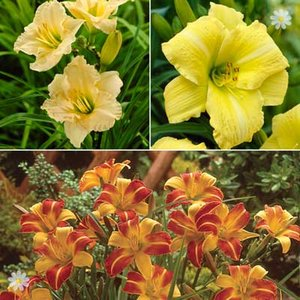Hemerocallis (Day Lily) Hardy plant Collection - 3 varieties in 9cm pots