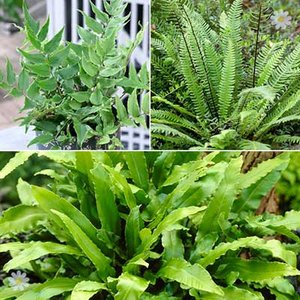 Evergreen Hardy Fern Collection x 3