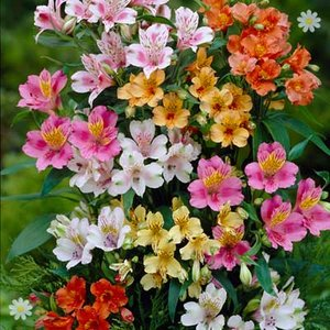 Hardy Garden Alstroemeria Ligtu Hybrids - pack of 10