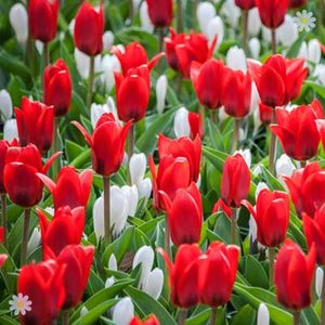 Tulip Scarlet Baby Size: 9/10 pack of 25 bulbs