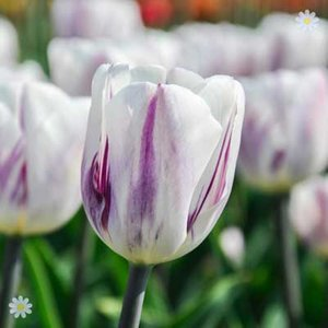 Tulip Flaming Flag Size:11/12 pack of 12 bulbs