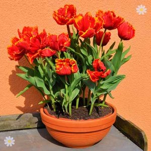 Tulip Bright Parrot Size:11/12 pack of 12 bulbs