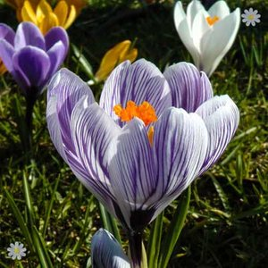 Crocus Large flowered Striped Size:7+ pack of 20 bulbs