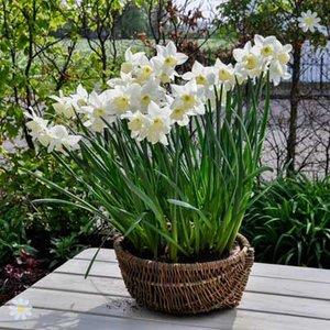 Narccisi Thalia Size:8/10 pack of 25 bulbs