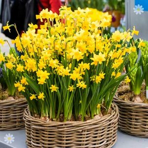 Narccisi Tete a Tete Size:8/10 pack of 30 bulbs