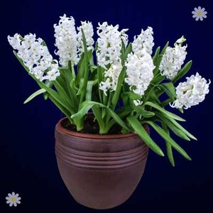 Hyacinth White Size:14/15 pack of 10 bulbs