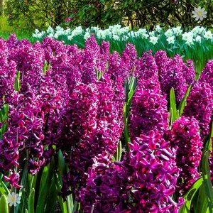 Hyacinth Woodstock Size:14/15 pack of 8 bulbs