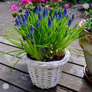 Muscari armeniacum Size:7/8 pack of 50 bulbs