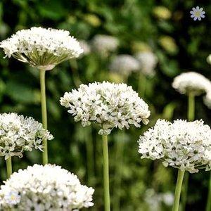 Allium nigrum Size:10/12 pack of 10 bulbs
