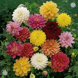 Dahlia tubers - Mixed Decoratives - pack x 10
