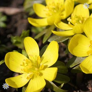 English Aconites - pack of 25 in the green