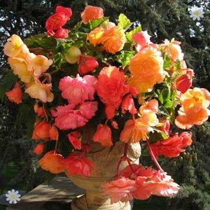 Fragrant Aromantic Begonia Tubers - pack of 10