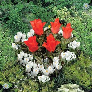 Plant-o-Mat Heart Tray Tulip & Crocus