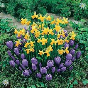 Plant-o-Mat Classic Narcissus/Crocus 45 bulbs