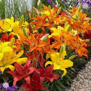 Carpet Lilies Flame Mix - pk of 10 bulbs size 12/14