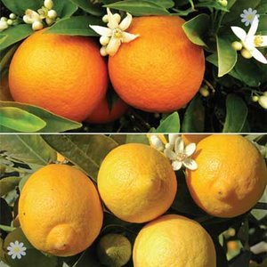 Pair of Large Citrus Trees in 6.5L pots with FREE Citrus Fee