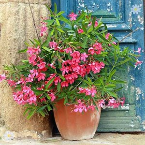 Complete Oleander Colours Collection - 5 plants