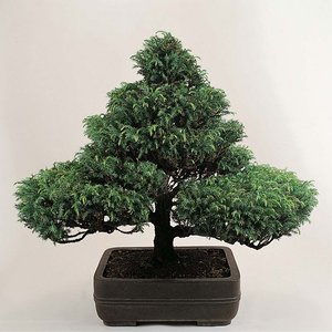 Bonsai Trees (Mixed)