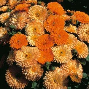 Calendula officinalis nana