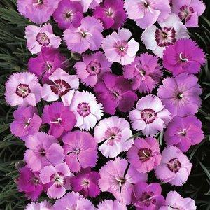 Dianthus plumarius