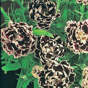 Dianthus chinensis heddewigii