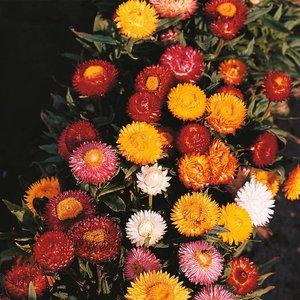Helichrysum monstrosum
