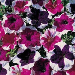 Petunia miniflora
