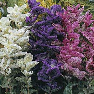 Salvia horminum