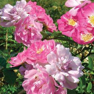 Rose multiflora nana perpetua