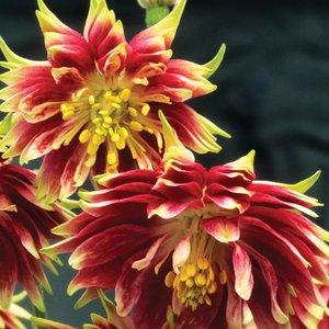 Aquilegia vulgaris var. stellata