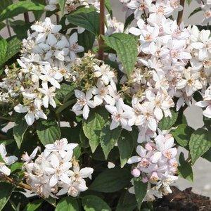 Deutzia x hybrida