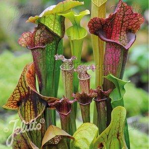 Sarracenia species