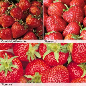 Strawberry Full Season Collection
