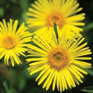Doronicum caucasicum