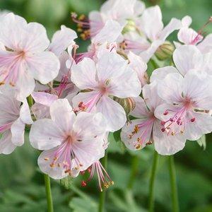 Geranium cantabrigiense