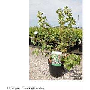 Ribes gordonianum