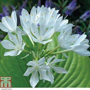 Jasmine Lily