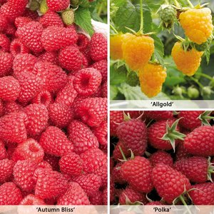 Raspberry Collection (Autumn fruiting)