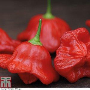 Chilli Pepper Bishops Crown