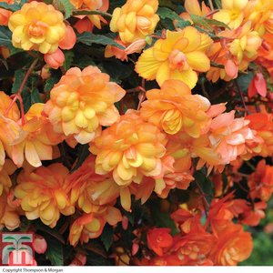 Begonia x tuberhybrida