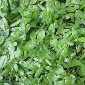 Callitriche stagnalis (Oxygenating Aquatic)