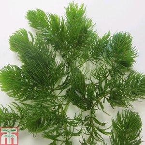 Ceratophyllum demersum (Oxygenating Aquatic)