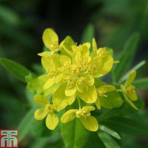 Euphorbia palustris (Marginal Aquatic)