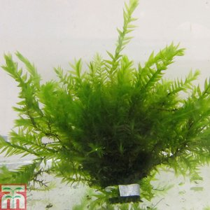 Fontinalis antipyretica (Oxygenating Aquatic)