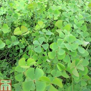Marsilea quadrifolia (Oxygenating Aquatic)