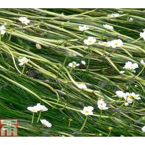Ranunculus aquatilis (Oxygenating Aquatic)
