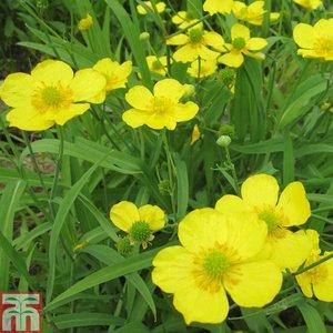 Ranunculus flammula (Marginal Aquatic)