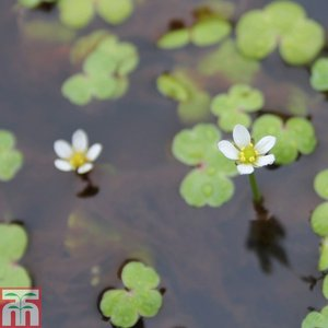 Ranunculus hederaceus (Oxygenating Aquatic)