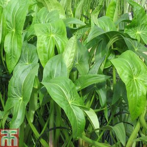 Sagittaria latifolia (Marginal Aquatic)